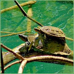 Kursunlu : la tartaruga trasporta il suo piccolo
