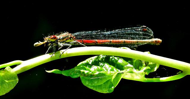 Large Red Damselfly. Pyrrhosoma nymphula