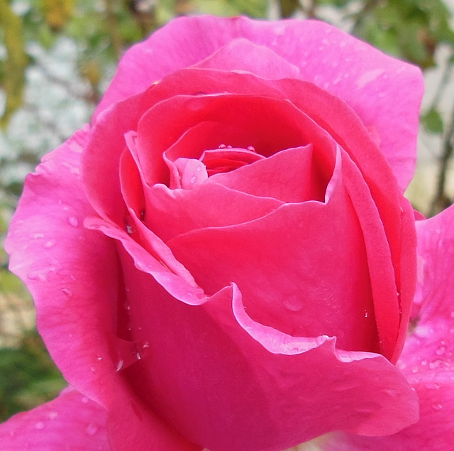 R comme ROSE (Pink)
