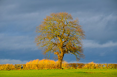 Lone tree near Gnosall