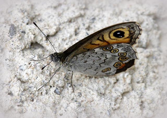 fil(et) à papillons - Page 11 43152532.e2007e74.640