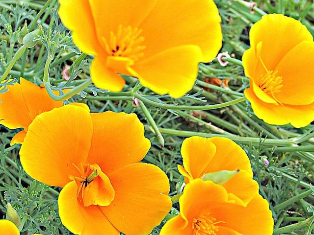 Yellow Californian Poppies.