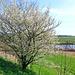 wilder Kirschbaum in voller Blütenpracht
