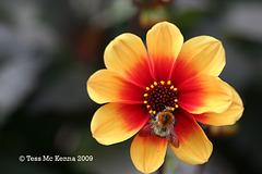 Moonfire Dhalia & Bee 058