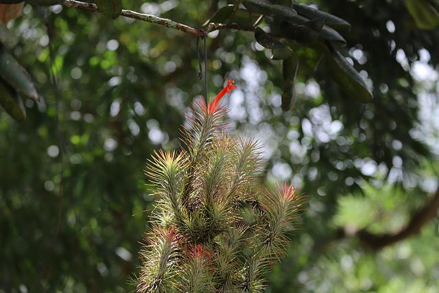 IMG 0075 Tillandsia du jardin PIP