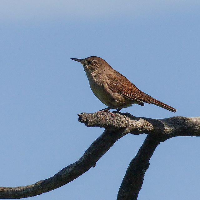 House Wren at the Ellis Bird Farm