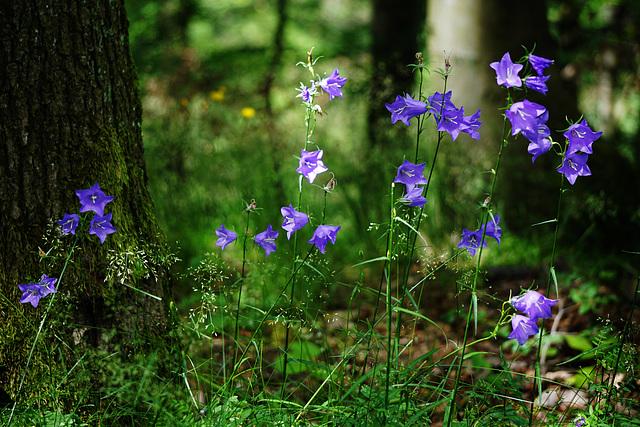 Sommer im Buchenwald - Summer in the beech forest