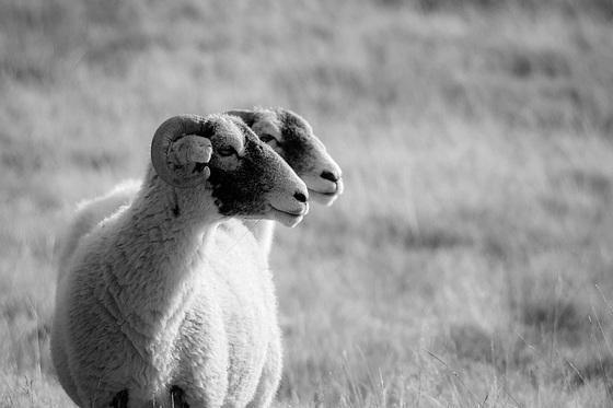 Infra Red Sheep