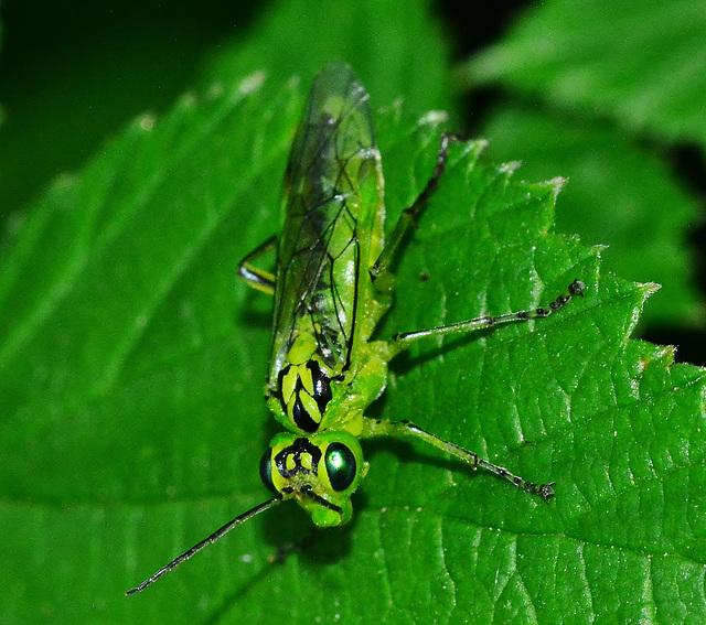 Sawfly. Rhogogaster viridis