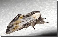 Harpyia milhauseri mâle.