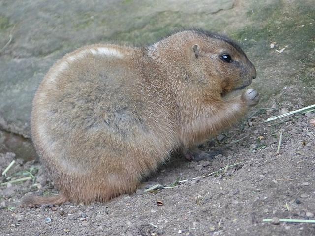 Prairie Dog - 16 October 2015