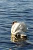 Swan beauty...