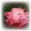 Rose au jardin avec Astucieux
