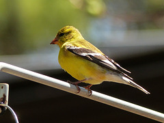 Day 2, American Foldfinch, Rondeau PP