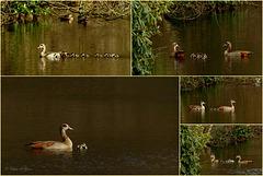 Egyptian geese     ~     Nijlganzen 's-Graveland 07022016