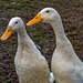 Aylesbury ducks (1)