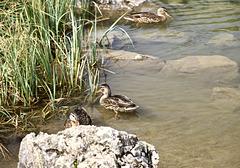 Enten im Schlappholtsee