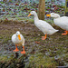 Aylesbury ducks2