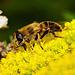 .........der gelbe Teppich ist ausgerollt für das Bienchen....