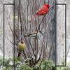 Mr & Mrs Cardinal, entertaining a neighbour.