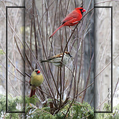 Mr & Mrs Cardinal, entertaining a neighbour.