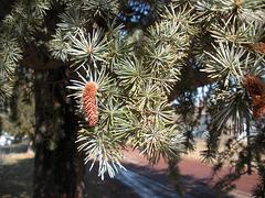 White spruce (?)