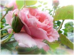 Roses du jardin avec effet de mon appareil photo avec PIP