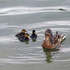 Ellesmere trio of ducklings