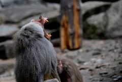 Affenmann mit großen Zähnen