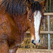 Close up of a Shire Horse Foal