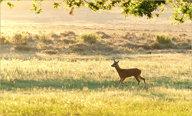 Little Roebuck was coming through the field and made me very happy...   Golden Hour!