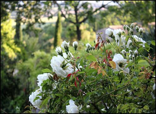 Grand rosier blanc