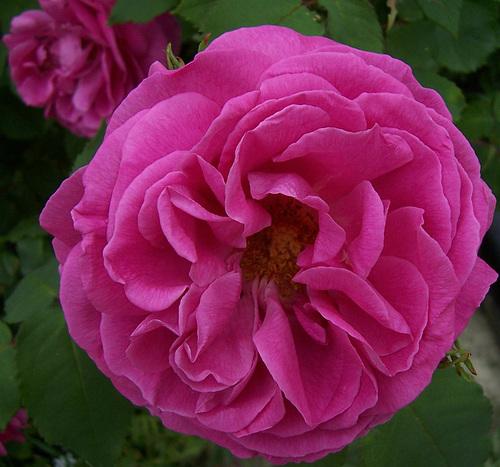 Rose...Rose