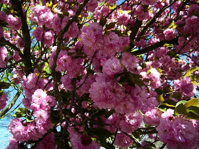 Pleine floraison***