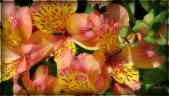 Bon Dimanche ! L' Alstroemeria ou lis des Incas du Japon ...