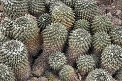 Mammillaria compressa – Desert Botanical Garden, Papago Park, Phoenix, Arizona