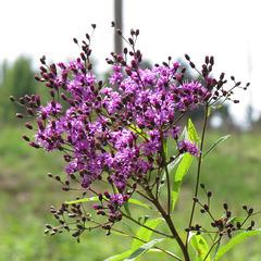 Vernonia (probably V. gigantea)