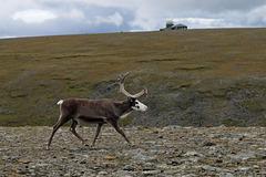 Reindeer passing SOSUS (Sound Surveillance System)