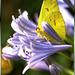 Schwefelfalter (Phoebis sennae). ©UdoSm