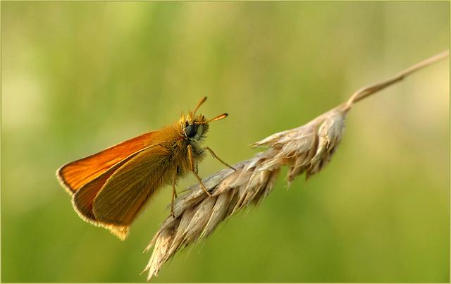 Essex skipper ~ Zwartsprietdikkopje (Thymelicus lineola)...
