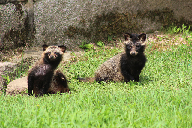 Raccoons at Chandeokgung