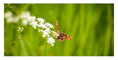 butterfly named  Map,