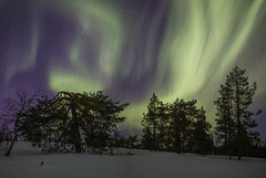 Auroras and old pine trees