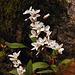 spring beauty claytonia caroliniana DSC 3649