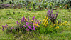 Bell Heather, Gorse and Common Heather flowers