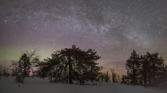 Milky Way and old pine trees