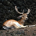 Azores, The Island of Pico, The Deer on the Rest