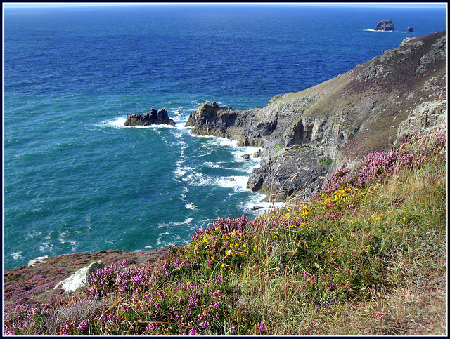 St Agnes Head, gorse and heather, for Pam.
