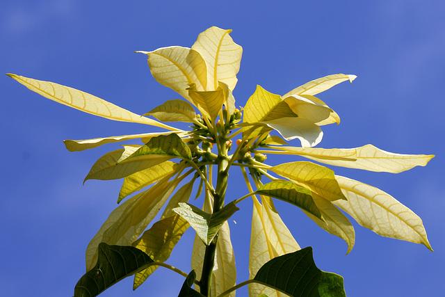 154/365 White Poinsettia
