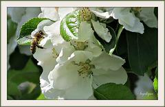 Fleurs de Pommiers ! Voir Notes SVP !